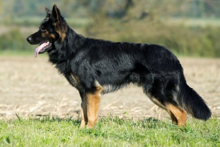 long-coated-german-shepherd-male